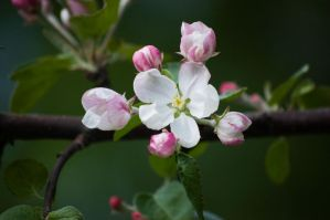 Apple blossom by Emeeeliiie