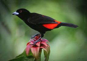 Cherrie's Tanager by Gilberto694277