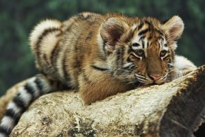Amur Tiger Cub by papatheo