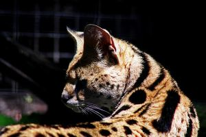 Serval Cat :Stock: by PixlPhantasy
