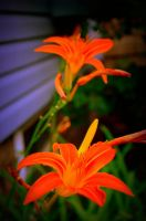 Tiger Lily's by coffeenoir