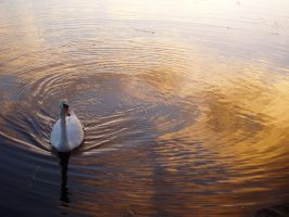 Swan... Canal by cherisecor