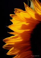 Sunflower... 4 by AgataSwat