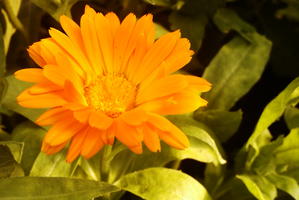 orange flower by TomRolfe