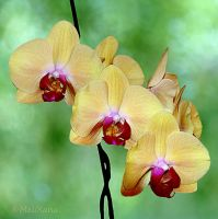 Phalaenopsis 7 by Martina-WW