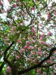 Pink Rhododendron Tree by WillFactorMedia
