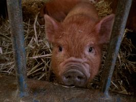 piglet at the petting zoo by harrietbaxter