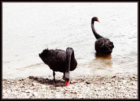 black swans by scarabbeo