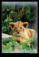 Baby lion by grugster