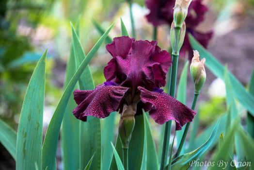 Dew on the Iris by fasligand