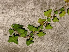 ivy 01 by Caltha-stock