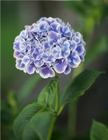Purple Hydrangea by andras120