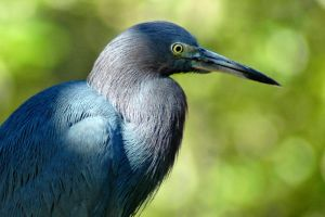 Little Blue Heron Portrait by mentaldragon