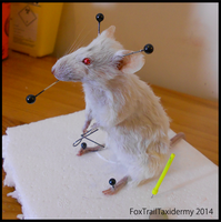Mouse Taxidermy by EternalEmporium