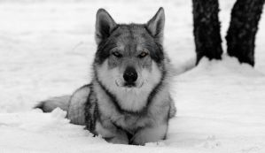B and W wolfdog by baritz89