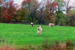 Gaggle of Cows by Chaindive