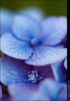 Two Blue by butterfly36rs