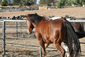 STOCK: Bay Horse9 by SnowPhotography