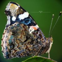 The Red Admiral 1 by Metkan