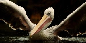 Pelican by Yslen