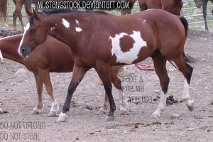 Paint Horse Stock by MustangStock