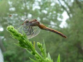 Dragonfly on a plant by JacketBird