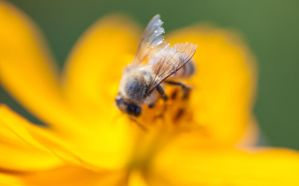 Naked Bee Giving Flower Good Head by DreamMover