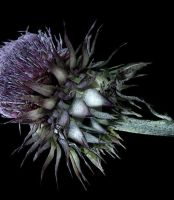 Flower of Scotland by day-seriani