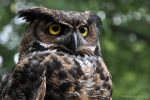 Great Horned Owl by Chaotic-Chelly