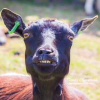 Epic goat face 1 by TammyPhotography