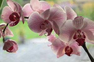 Pink orchid by louise2670