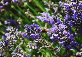 The Bumble Bee and Lavenders by Taemu-Touhi