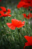 Field of Remembrance by RickHaigh