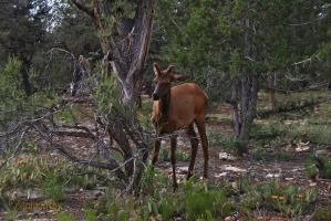 elk at the grand canyon by ZophielRay
