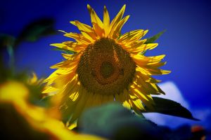 Sunflower with two Bees by woisvogi