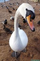 Swan close-up by IamNasher