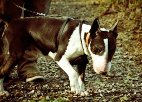 Nadal The English Bull Terrier XIII by scribbleXcore
