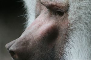 Baboon Face by vivadawolf