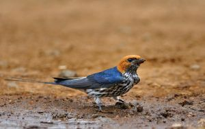Lesser Striped Swallow by NagWolf