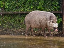 Bearded Pig by gee231205