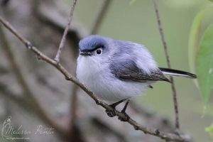 Blue-gray Gnatcatcher by mydigitalmind