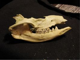 Possum Outer Jaw - right side by Treeclimber-Stock