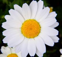 Daisy 1 by veronicagibson