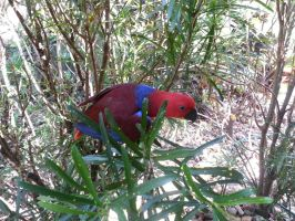 Eclectus Parrot by Barabi