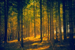Golden Forrest by db-photoblogDOTcom
