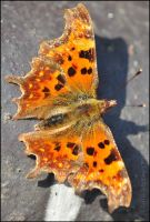 Comma Butterfly by Somebody-Somewhere