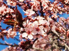 Plum Blossoms 8 by XxSilverOwl13xX