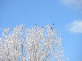 Black and white - Crows in snow covered tree by flyineddy
