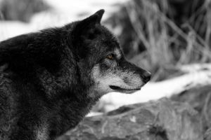 Wolf by tamga