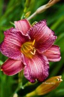 Day Lily by thriftyredhead